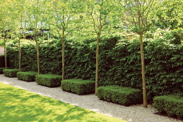 garden hedges glorious hedges garden design calimesa, ca LZSCMIR