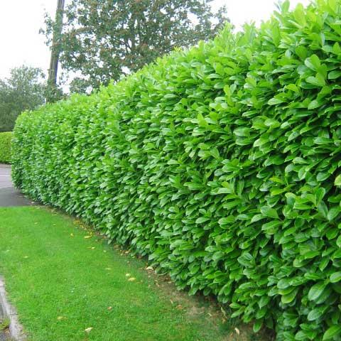 garden hedges laurel hedge ITCCVDW