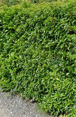 garden hedges portugal laurel hedge JMATLPH