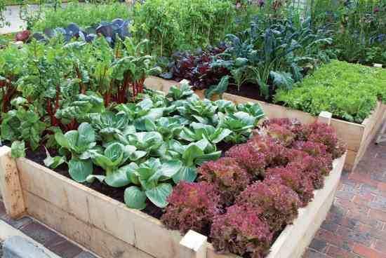 kitchen garden greens and herbs XEEQUGX